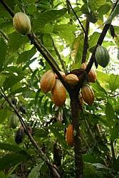 Papua Cocoa Tree